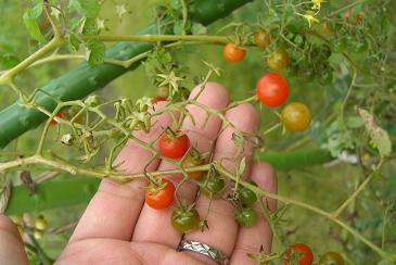 ミニミニトマト