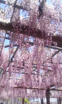 曼陀羅寺公園の藤.jpg