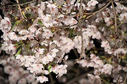 鶴ヶ城夜桜2011 4 29 006