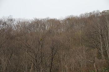 戸赤の山桜 2011 5 1 002
