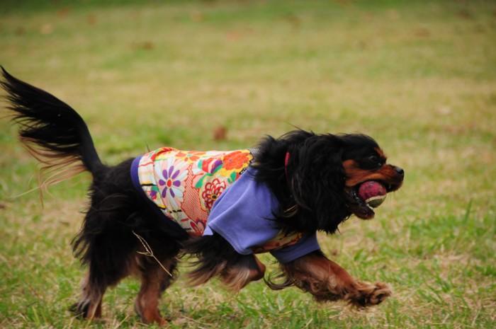モニカちゃん、ボールキャッチして走ります。