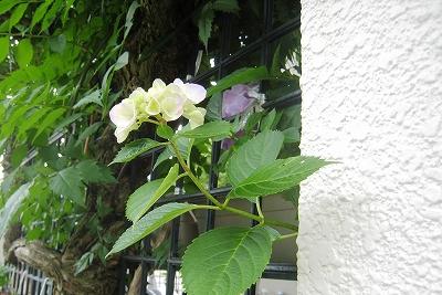 初めて咲いたアジサイ