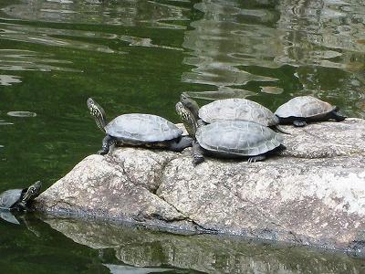 清荒神の池のカメ1