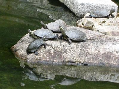 清荒神の池のカメ3