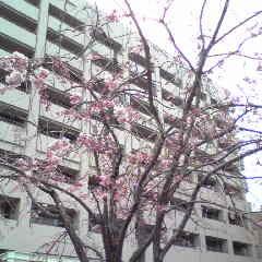 がんセンターの桜