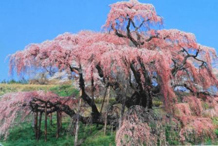 トリミングー滝桜