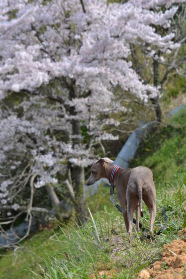 桜とリューク