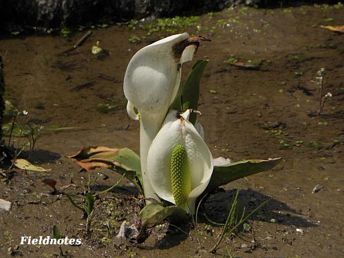 白い仏炎苞が大きく広がったミズバショウ