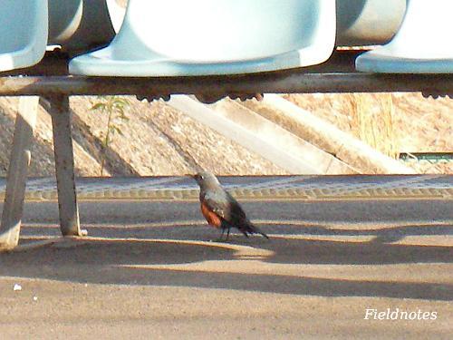 みさき公園駅のホームのベンチの下のイソヒヨドリ