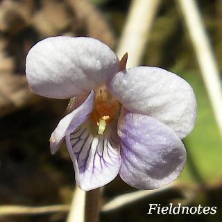 アケボノスミレ?の花