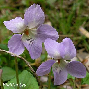 ナガバノタチツボスミレ?の花