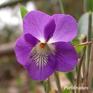 ニオイタチツボスミレの花