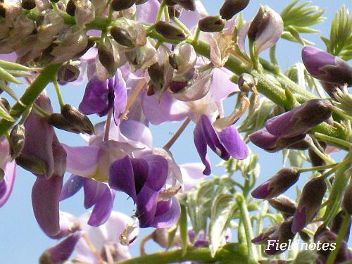 今年も咲きはじめた近所のフジの花