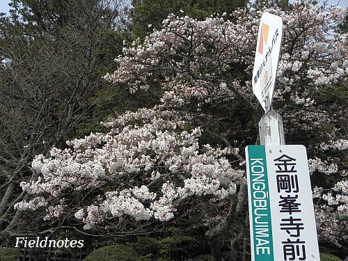 なんとか咲いていた金剛峰寺前のバス停の桜