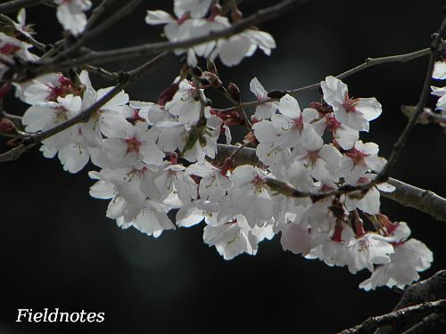 なんとか咲いていた持明院の桜