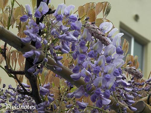 今の玉川の野田藤の花
