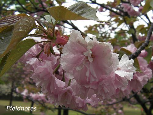 尼崎市都市緑化植物園の遅咲きのヤエザクラ(カンザン?)