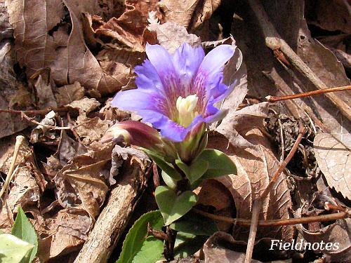紫色のフデリンドウの花