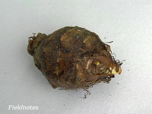 今年のサトイモの種芋