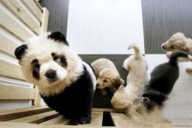 """新華社が作り方を報じた""""パンダ犬"""""""