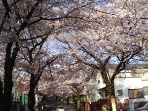 神学院下交差点からの桜のアーチ