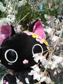 にゃんぱいあ「桜と2ショットにゃ」