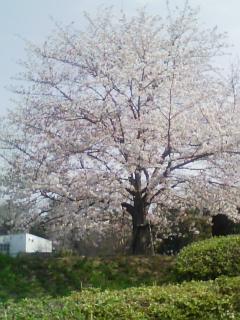 桜が満開^^^^