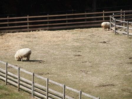 2011.2.27 望み牧場の羊