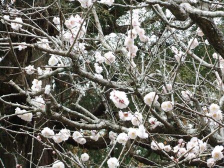 2011.3.16  春の梅の花木 031