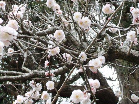 2011.3.16  春の梅の花 030