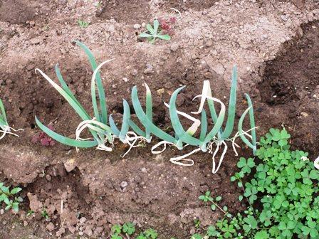 2011.3.16  春野菜のねぎ 024