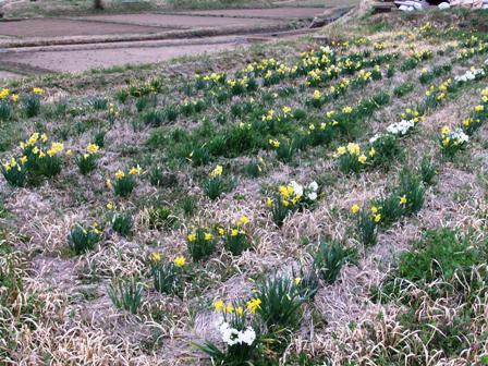 2011.4.2 水仙畑 039