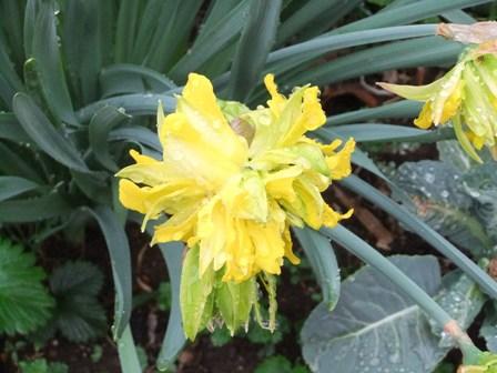 2011.4.9 八重咲き水仙 021