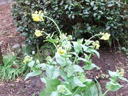 2011.4.9 白菜の花 022