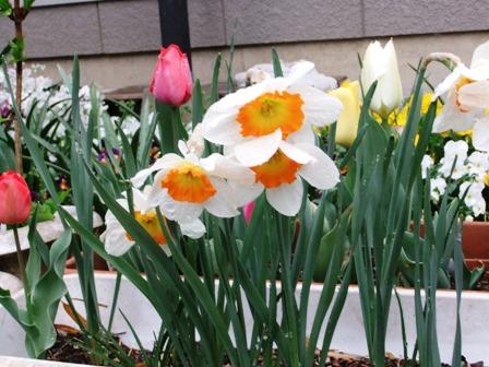 2011.4.9 水仙の花 023
