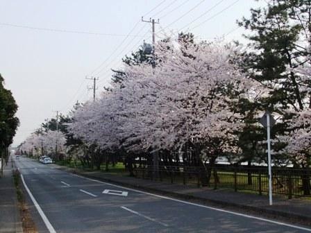 2011.4.12 潮見の桜001