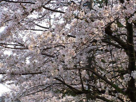 2011.4.12 桜 005