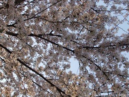 2011.4.12 桜咲く 002