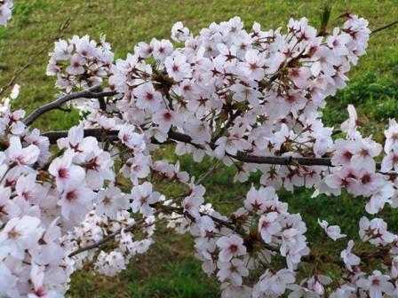 2011.4.12 桜 004
