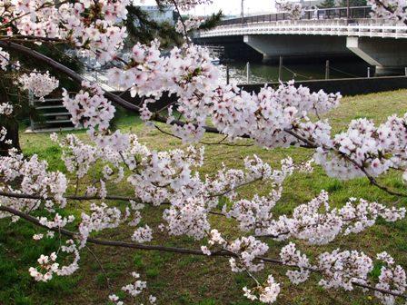 2011.4.12 桜 003