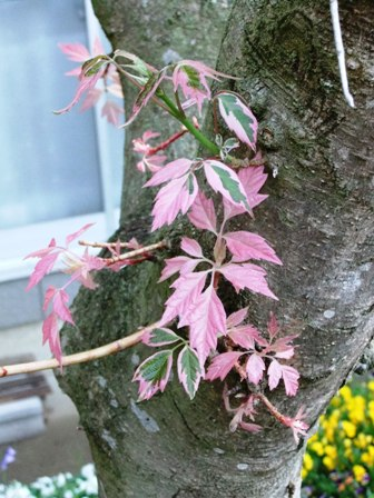 2011.4.24 庭のかえでの木 038