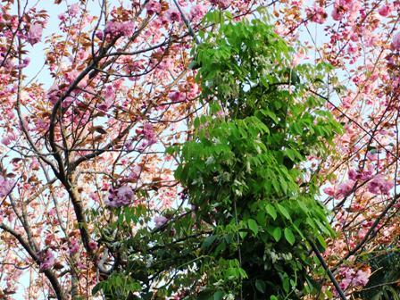 2011.4.24 むべと八重桜 031