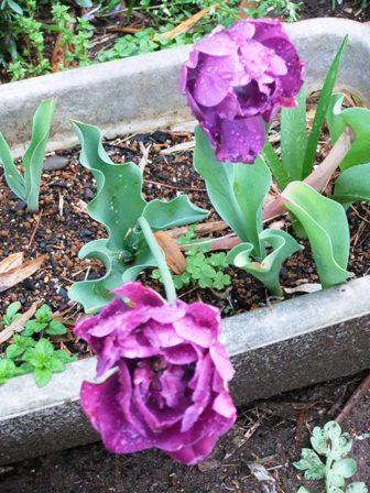 2011.4.24 庭の紫チューリップ 039