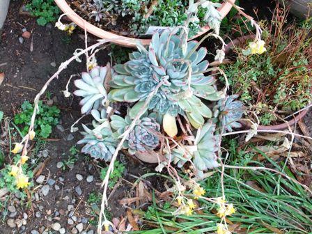 2011.4.24 庭の花々 037