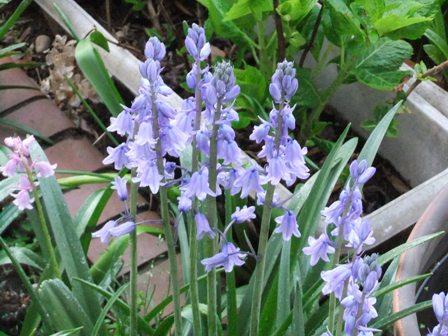 2011.4.24 庭の花々 036