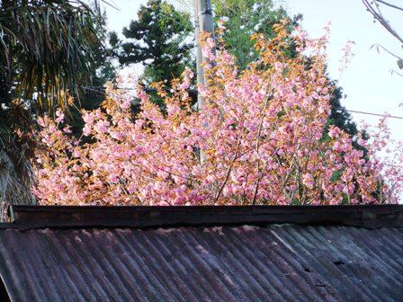 2011.4.24 隣の八重桜 026
