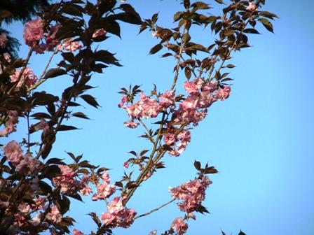 2011.4.24 八重桜 029