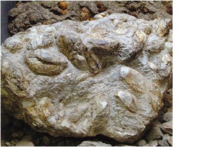 シロウリガイの化石