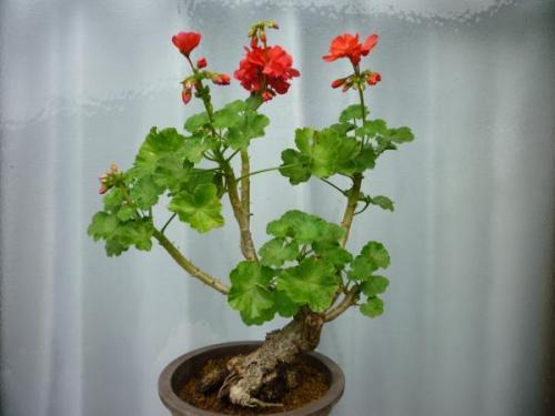 盆栽ゼラ1