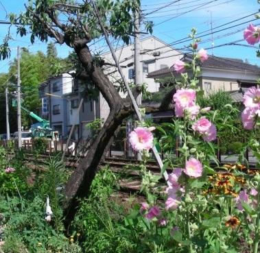 北野桂川2011-6月 185